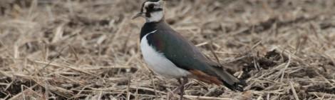 春一番と休耕田の鳥たち