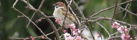 スズメの春