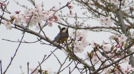 ヒヨ桜、ヤマ桜
