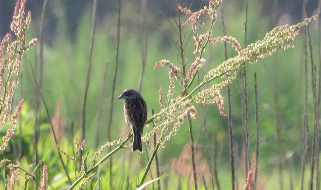 早朝の田園歩き。コチドリ、アマサギ、ホオアカ