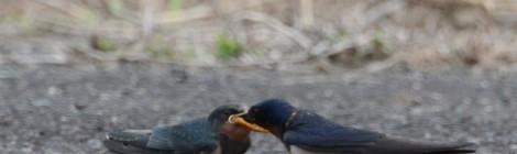 ツバメの子育てじっくり観察(1)