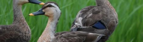 ヒヨドリの若鳥