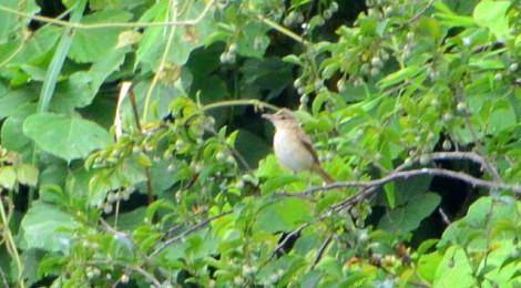オオヨシキリの若鳥
