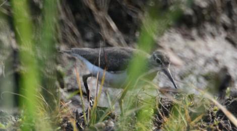 シギチの秋の渡り(1)イソシギ