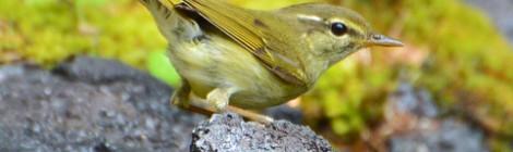 奥庭の野鳥(5)メボソムシクイ
