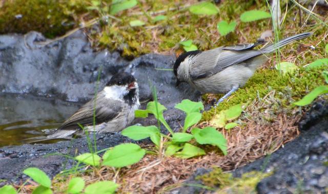 奥庭の野鳥(6)コガラ