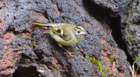 奥庭の野鳥(2)キクイタダキ