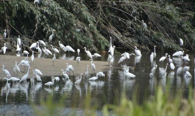 久慈川のサギのコロニー(1)