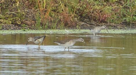 シギチの秋の渡り(4)タカブシギ3羽