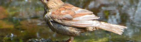 奥庭の野鳥(7)カヤクグリ