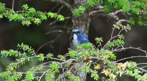 奥庭の野鳥(8)ルリビタキ