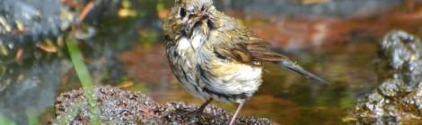 奥庭の野鳥(9)ルリビタキ2