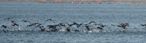 カワウの追い込み漁