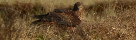 チュウヒ2羽とオオバン団