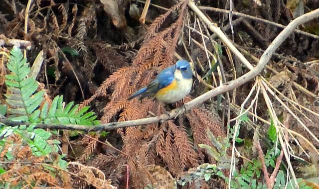 幸せの青い鳥、黄色い鳥