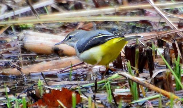 アオジ、キセキレイ、黄色い鳥たち