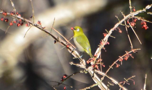 公園の松林の冬鳥
