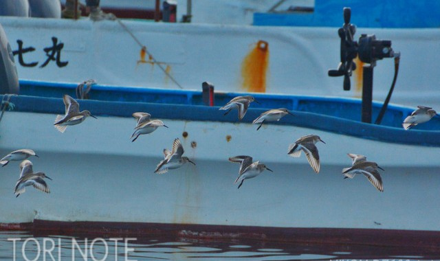 船着場のハマシギ
