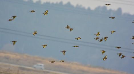 カワラヒワ群れ飛ぶ