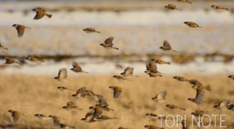 スズメの群飛