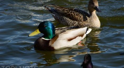 古徳沼の水鳥たち