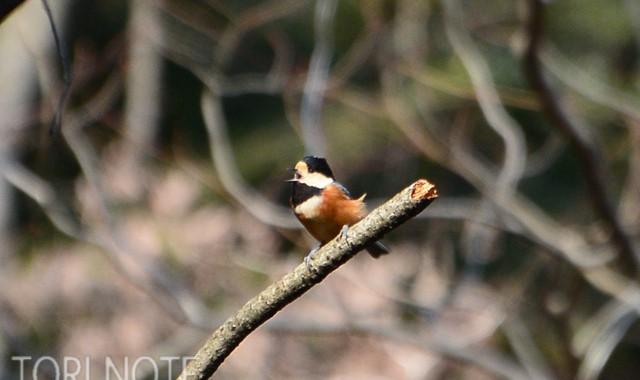 小木津山で小鳥探し(2)ヤマガラ