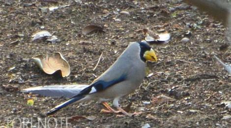 小木津山で小鳥探し(3)イカル