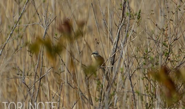 北浦の湿地・ヨシ原の鳥達