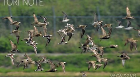 浮島探鳥(1)シギチ乱舞