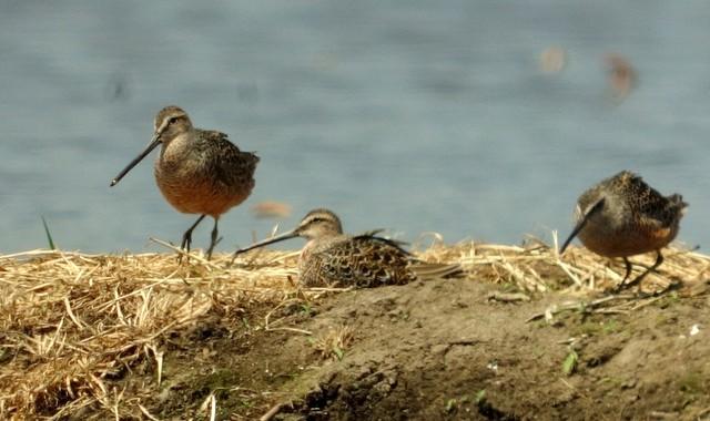 浮島探鳥(2)オオハシシギ、ウズラシギ