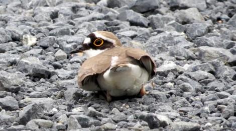 カワラヒワ&ノスリ幼鳥