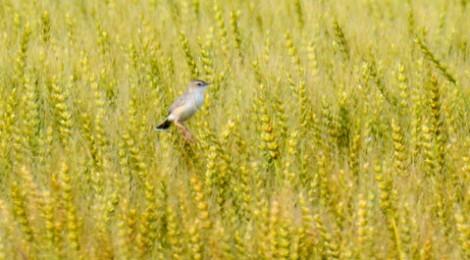 麦畑のセッカ