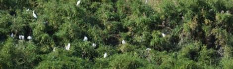 2014久慈川のサギのコロニー(1)