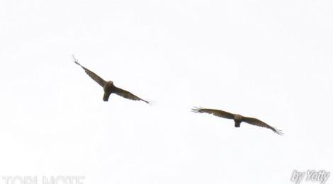 サシバたちが飛ぶ
