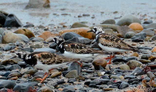 秋の渡り2014~海辺のキョウジョシギ&トウネン