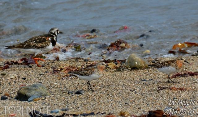 秋の渡り2014~海辺のキアシシギ
