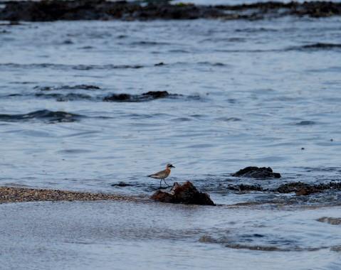 秋の渡り2014~海辺のメダイチドリ