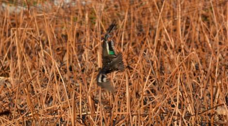 蓮田防鳥ネットのコガモレスキュー