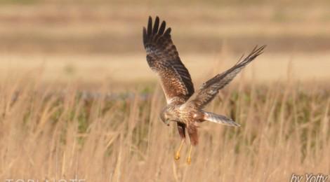 涸沼の冬鳥~タゲリ、カンムリカイツブリ