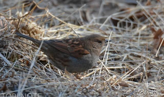 筑波山の冬鳥~カヤクグリ、ウソ
