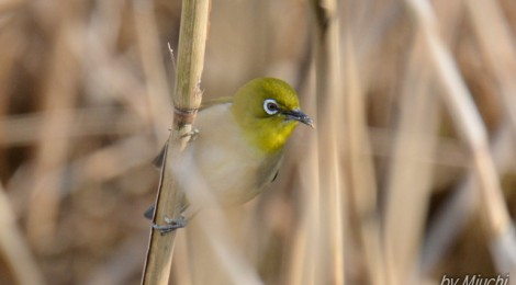 涸沼の小鳥たち~キクイタダキ、ウソ