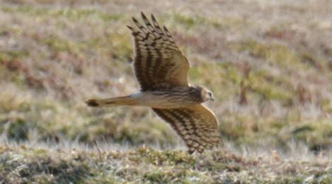 ハイイロチュウヒ(♀)飛ぶ