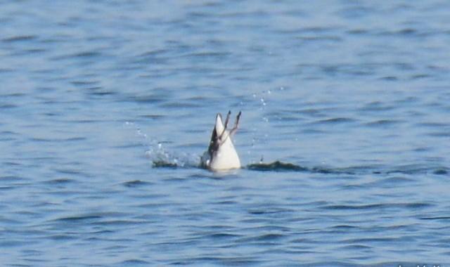那珂湊のウミスズメ、ウミウ