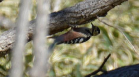 奥日光探鳥(3)~オオアカゲラ、アカゲラ