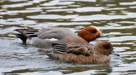 池の鳥~オオハクチョウ、ヒドリガモなど