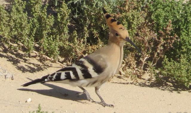 モンゴルの鳥(2)ヤツガシラ