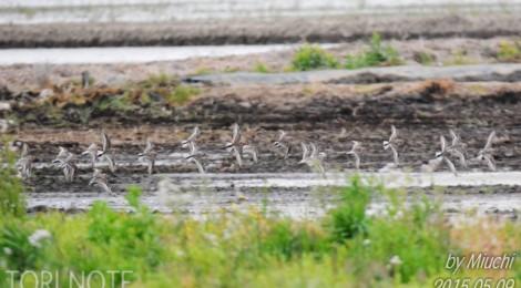 涸沼のトウネンの群