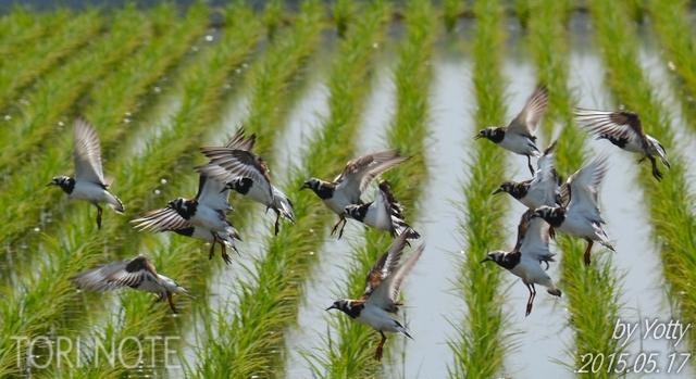 稲敷~キョウジョシギの群れ