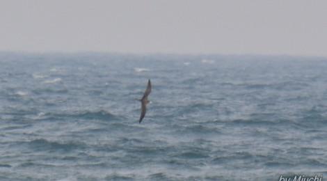 オオミズナギドリが飛んでいた