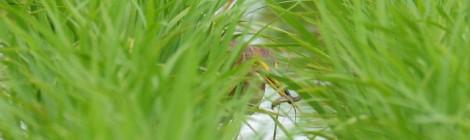 涸沼のアカガシラサギ2羽